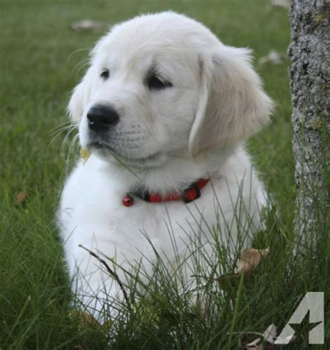 large golden retriever breeders golden retriever puppies for sale in big lake minnesota classified