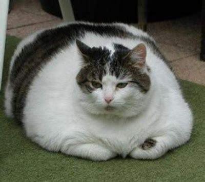 cara membuat cairan oralit untuk kucing 9 cara membuat kucing gemuk dan sehat ampuh mania