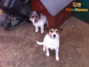 Small Dogs Needing A Home 2 Small Dogs Need Loving Home Cheltenham