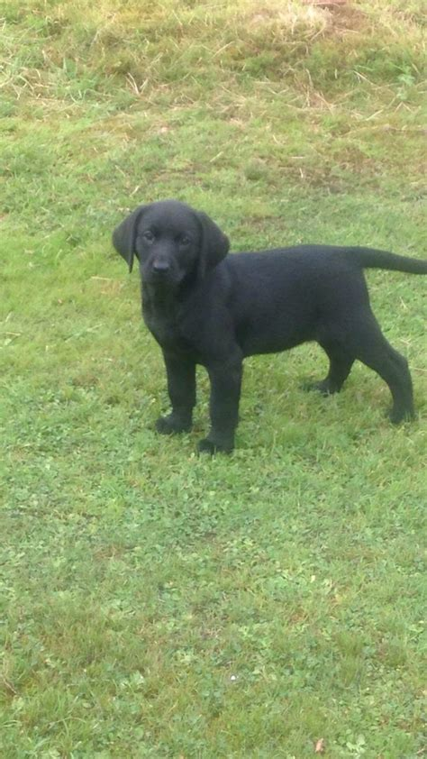 labrador dogs for sale labrador puppies for sale aboyne aberdeenshire pets4homes