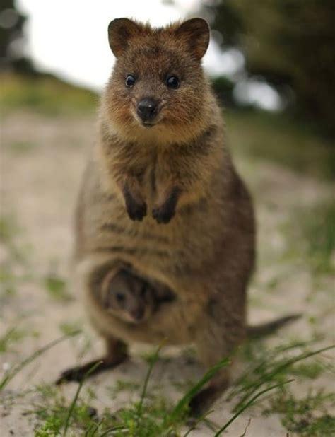 google images quokka animal world of australia wander lord
