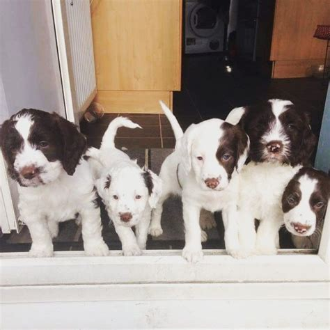 sproodle puppies for sale sproodle puppies for sale ripley derbyshire pets4homes