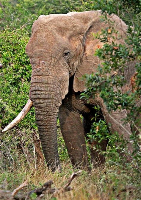 botanical name of elephant free stock photos rgbstock free stock images bush elephant seepsteen april