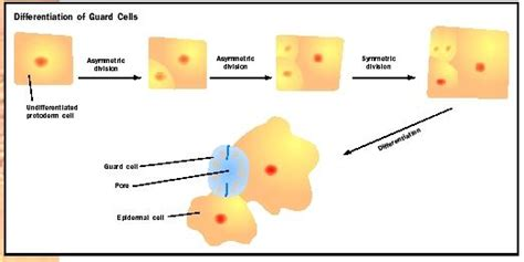 pattern formation in plants flowchart plant development biology encyclopedia cells body