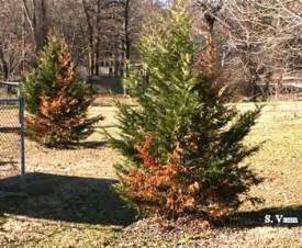 Tomato Plant Disease Treatment - trees conifer diseases