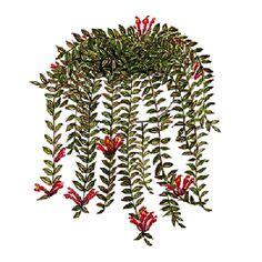 Lipstik Caring aeschynanthus chiritoides plant houseplants