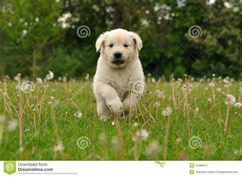 golden retriever puppies running golden retriever puppy running between dandelions stock photo image 19588910