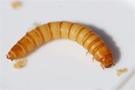bug of the week adult mealworms are beetles growing