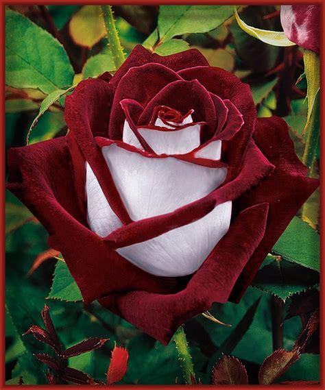 imagenes impresionantes de rosas elecci 243 n de las imagenes de rosas mas bonitas imagenes