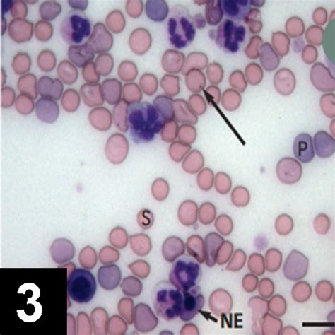 imha in dogs canine immune mediated hemolytic anemia clinician s brief