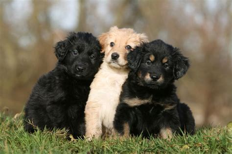 hovawart puppies hovawart puppies animals hovawart germany animals and puppys