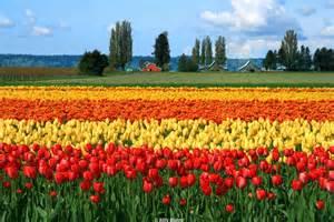 skagit valley tulip festival photography pinterest