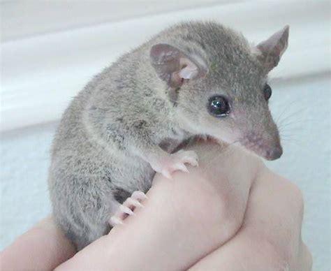 gray short tailed opossum wikipedia