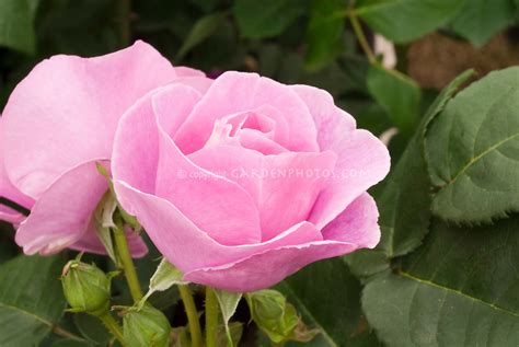 rosa lucky frylucy plant flower stock photography
