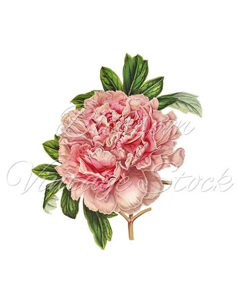 peony clipart vintage pink peony clipart png digital image vintage