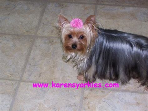 carolina yorkie breeders yorkies terriers yorkie breeder nc