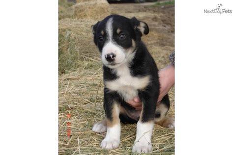 mcnab puppies for sale mcnab for sale for 575 near visalia tulare california 036c6430 a4e1
