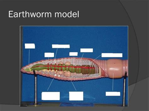 earthworm dissection model ppt annelids molluscs powerpoint presentation id 2277286