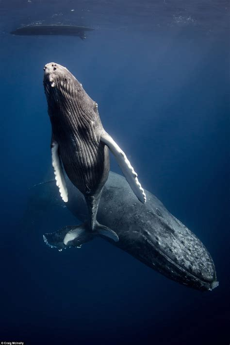 mom and baby whale on dive sea animals coloring page photographer terry steeley wins global underwater