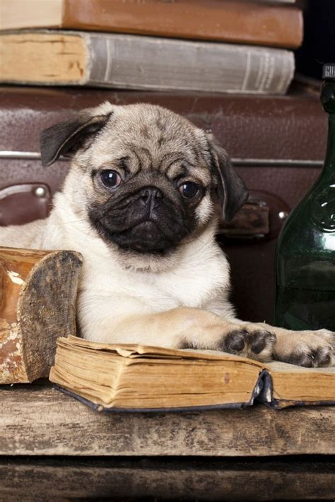 puppy 6 pug vs pug books 3610 best i pugs images on dogs pug dogs