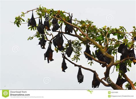 volpi volanti albero in pieno dei pipistrelli volpi volanti fotografia