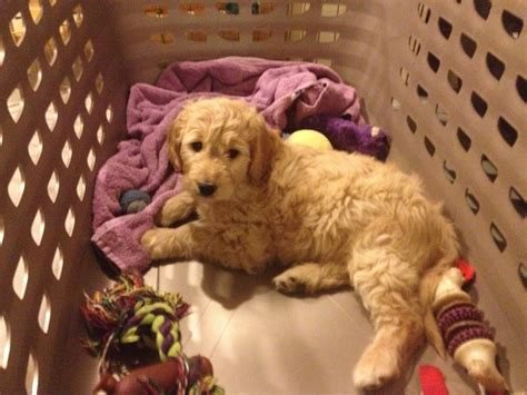 8 week puppy crate crate your puppy goldendoodle breeder ny goldendoodle puppies ny