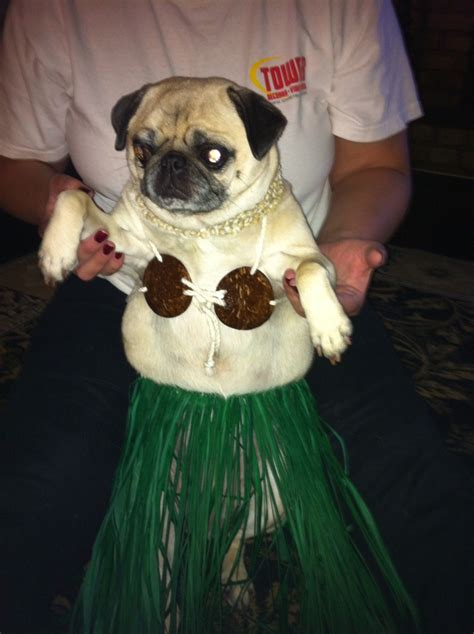 pug in aloha bitches pugs in costumes pugs