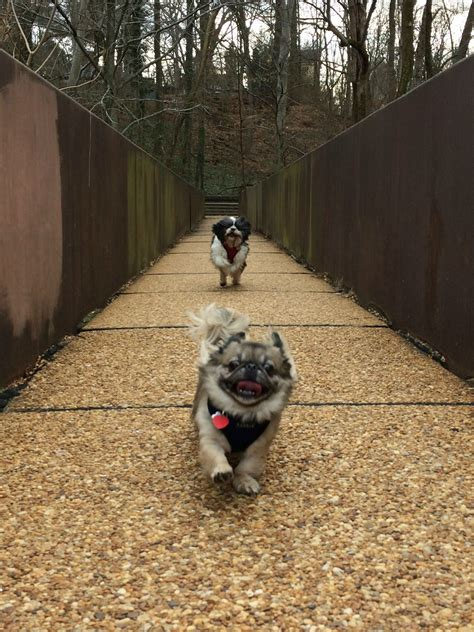 why do shih tzu water took our pug for a quot walk quot in the woods rebrn