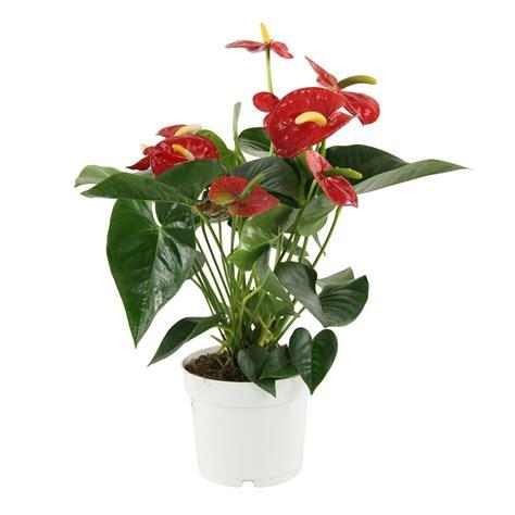 anthurium plante 216 17cm petit mod 232 le pot autres marques jardinerie truffaut