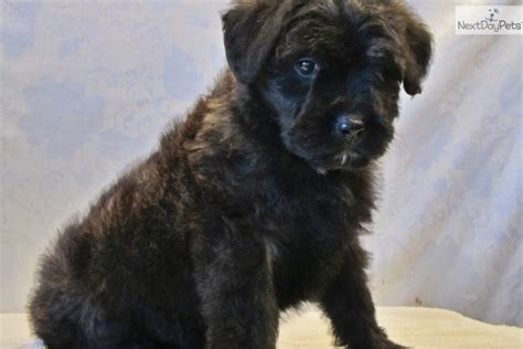 bouvier puppies for sale in michigan puppies for sale southeast missouri breeds picture