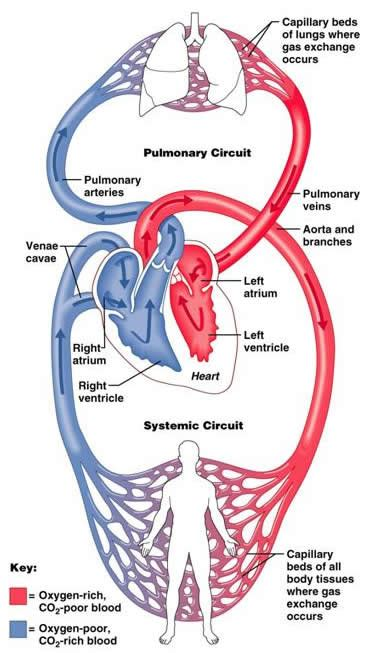 function   lungs  connection   circulatory system socratic