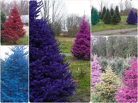 christmas tree farms in albany ny area tad polly get the dirt on real colored trees in rome