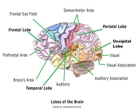 diagram of brain lobes the brain the cerebral cortex cognitive consonance