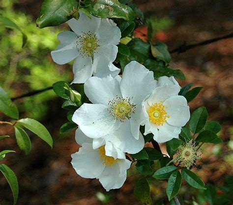 official state flowers cherokee rose georgia official state flowers pinterest