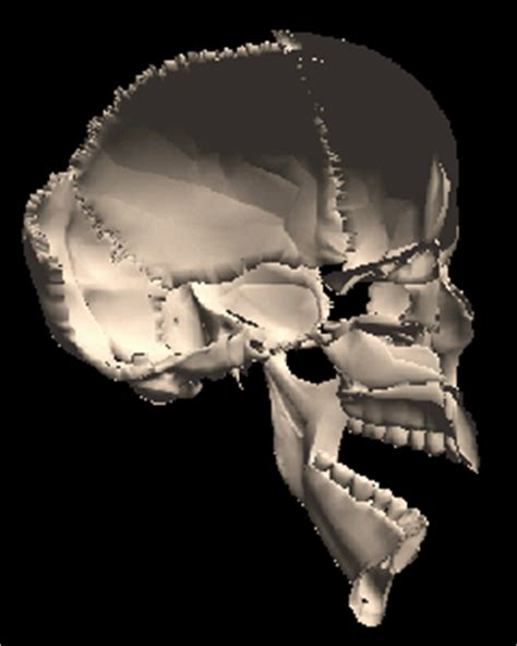 skull cross section 3d human skull cross section