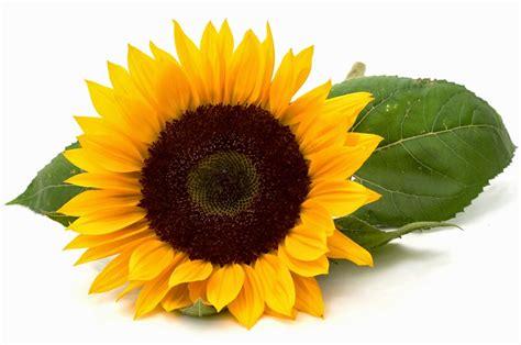 manfaat bunga matahari  kesehatan  pengobatan
