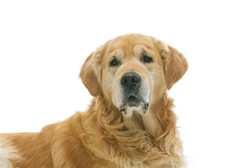 gland cancer in dogs adrenal gland cancer treatment adrenal gland cancer in dogs petmd