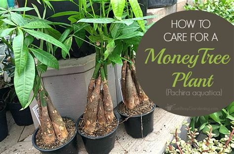 money plant care how to take care of a money tree