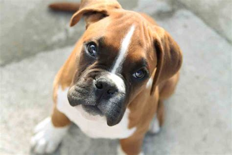 best puppy food for boxers best food for boxers 2018 s top 5 picks ultimate home