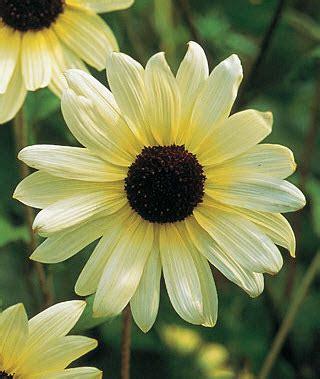 Bibit Biji Benih Bunga Italian White Sunflower Matahari bibit sunflower vanilla