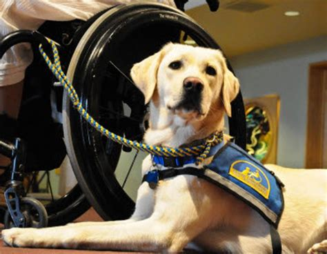 of service dogs labradors retrievers as service dogs