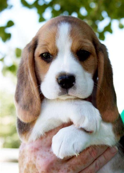 Anak N Bab Penguin Pocket 1000 ideas about pocket beagle on beagle puppies beagles and beagle