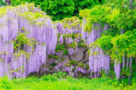 Kletterpflanzen Als Sichtschutz 1779 kletterpflanzen als sichtschutz immergr ne
