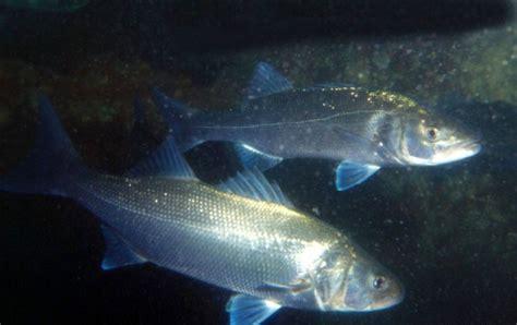 pesca spigola porto pesca estrema col maltempo lo spinning alla spigola