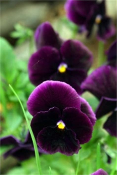 pansy plants care tips growing pansies  pots viola