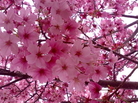 i fiori di ciliegio pz c fiori di ciliegio