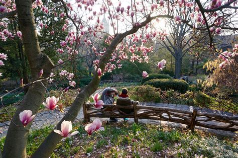Shakespeare Garden Central Park by The Central Park Magnolia Blossoms Are So Beautiful
