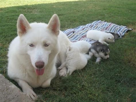 siberian husky puppy price best 25 siberian husky puppies price ideas on husky puppies price pomsky