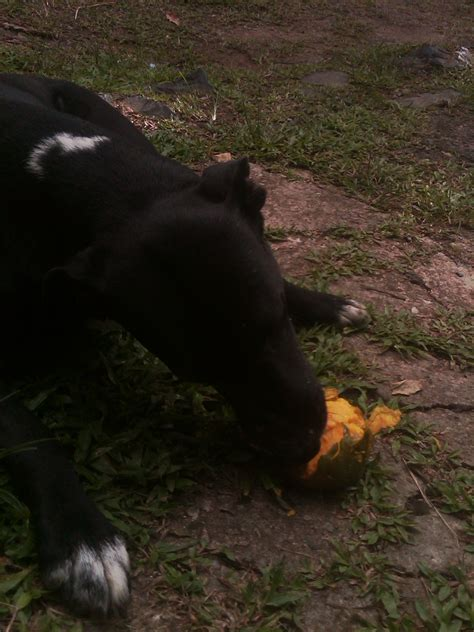 dogs eat mango is it safe for dogs to eat mangoes mongrels mangoes damajority