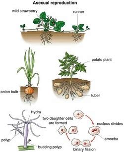 exles of vegetative propagation by roots picture